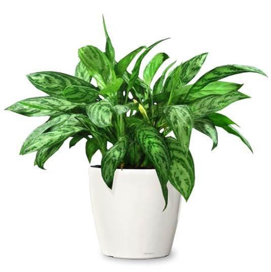plantes-depoluantes-aglaonema-commutatum