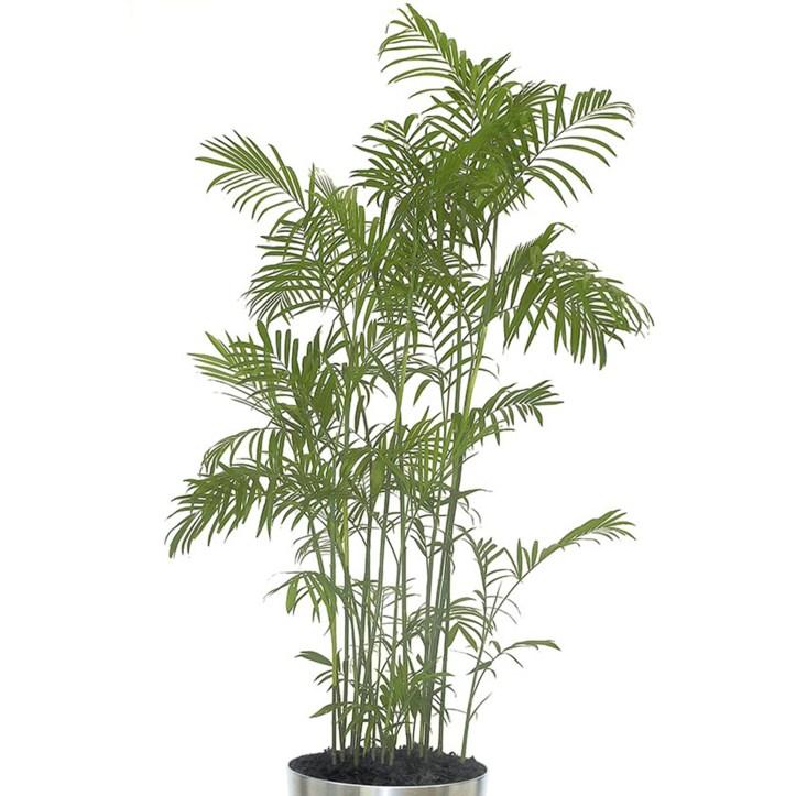 plantes-depoluantes-chamaedorea-seifrizii