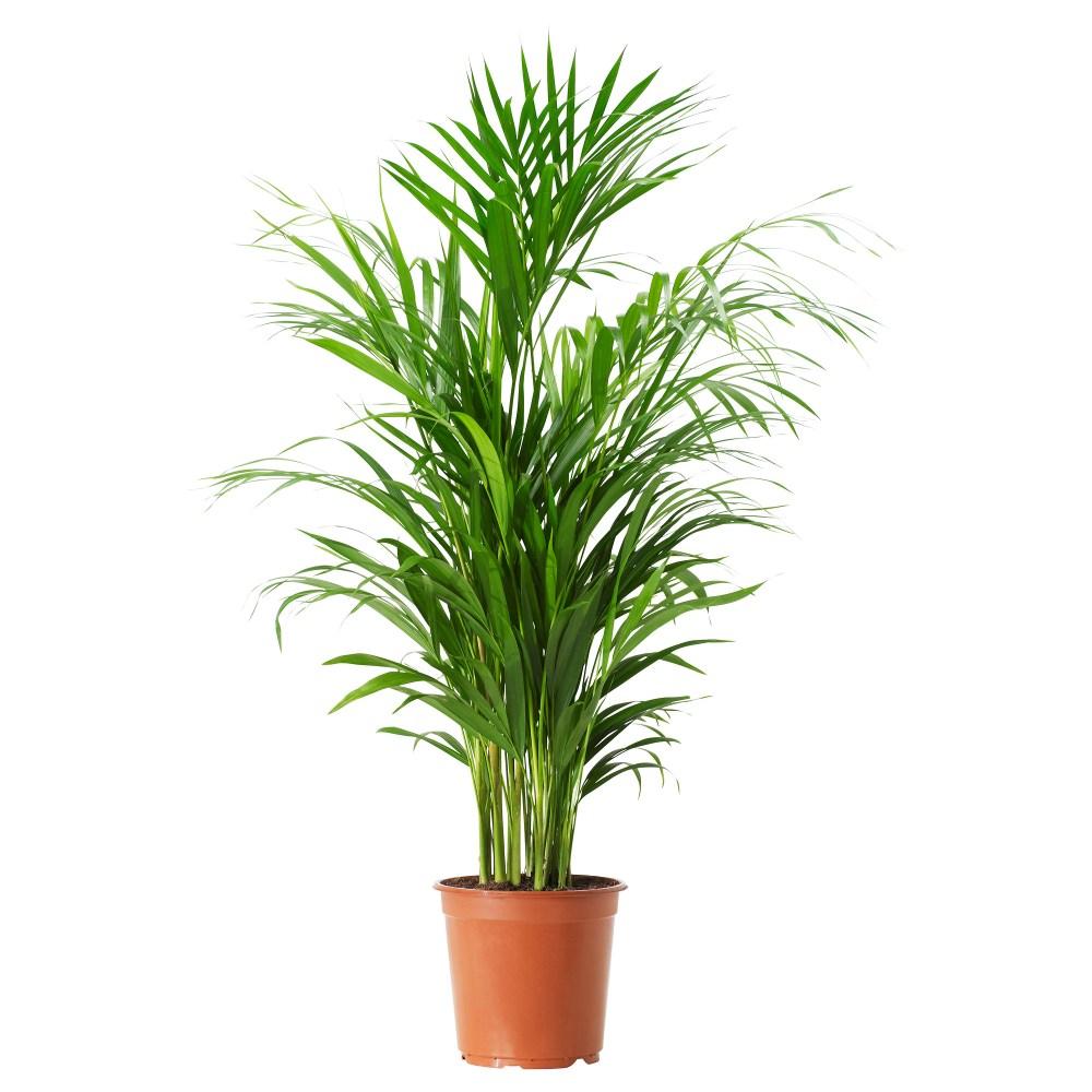 plantes-depoluantes-chrysalidocarpus