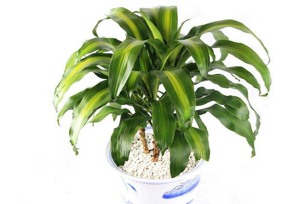 plantes-depoluantes-d-fragrans-massangeana