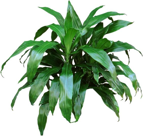 plantes-depoluantes-dracaena-deremensis-janet-craig