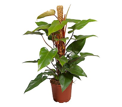 plantes-depoluantes-philodendron-erubescens-red-emerald