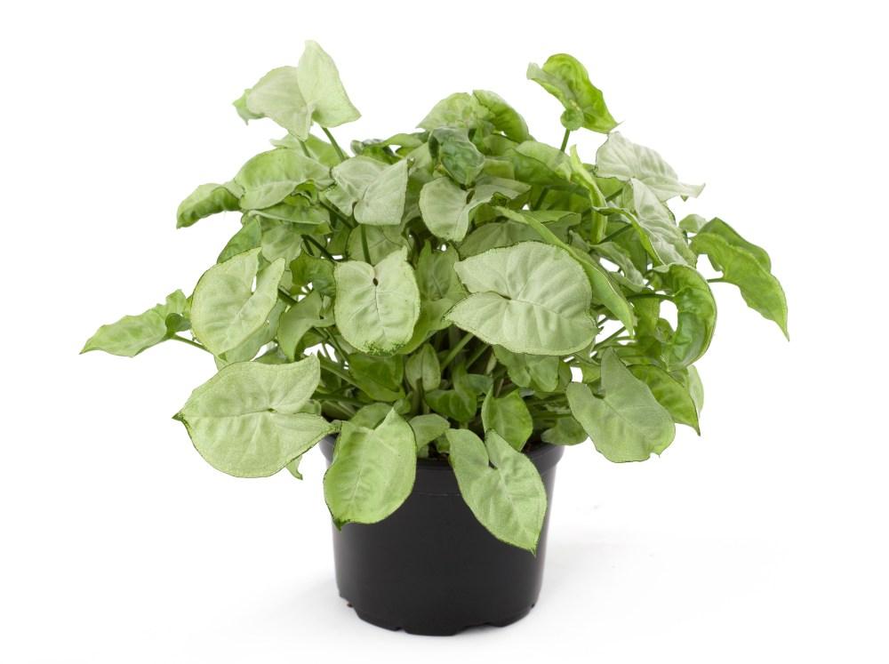 plantes-depoluantes-s-podophyllum