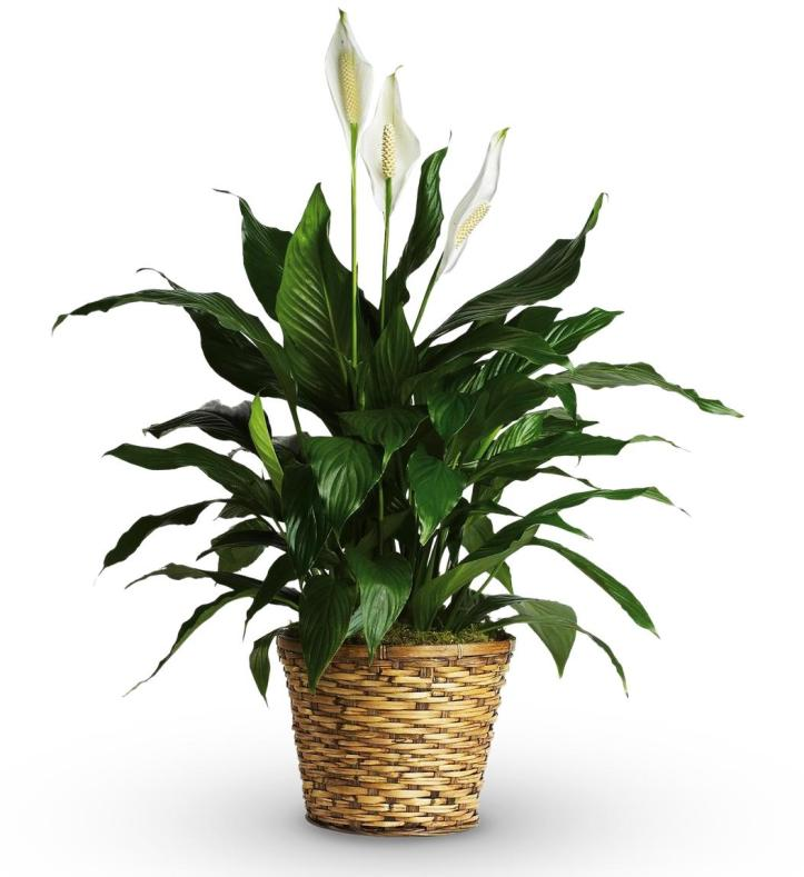 plantes-depoluantes-spathiphyllum