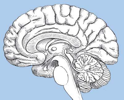 brain diagram without labels 99 ford explorer radio wiring human bioscholar news