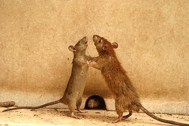 Крысы поедают друг друга