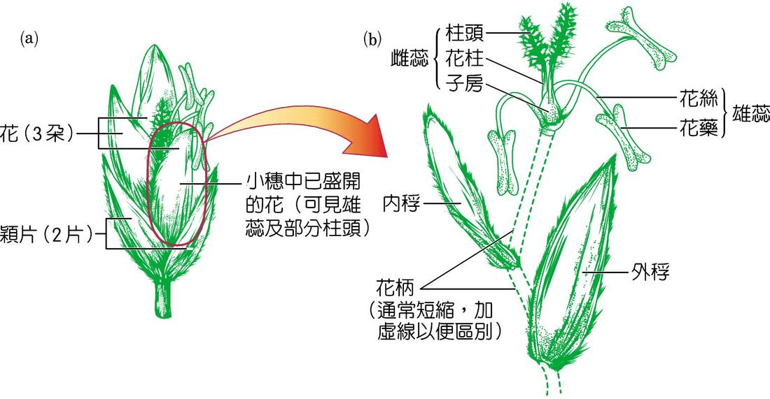 禾本科植物的花及果實 - 生物科共同備課網