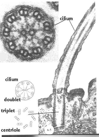 cilium microvilli diagram
