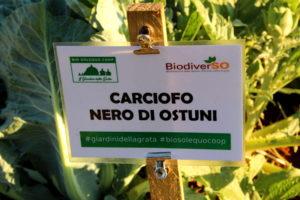 Carciofo Nero di Ostuni - cartello varietale - BiodiverSO - Bio Solequo Coop