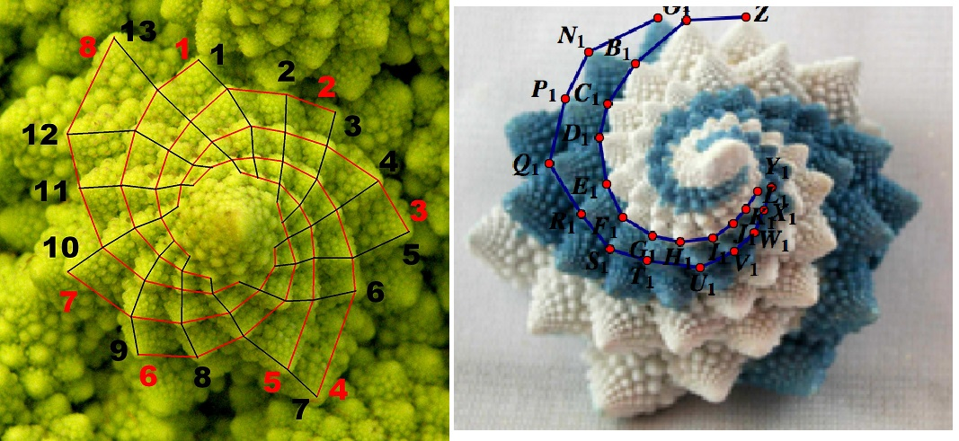 La geometria delle piante la successione di fibonacci for Successione 2017