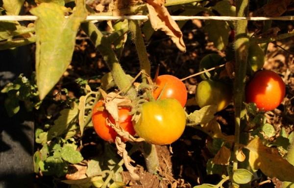 Pomorodo giallo arancio di Crispiano [antica varietà pugliese]
