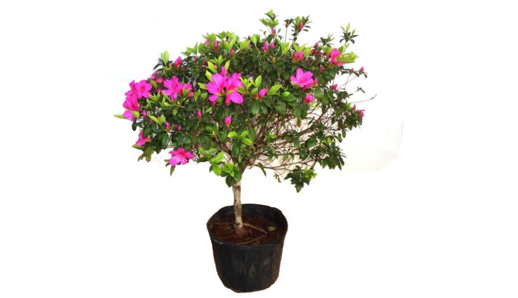 10 Plantas que Purificam o Ar de Sua Casa - Azaleia