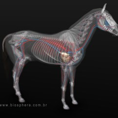 Lung Lobes Diagram 1981 Jeep Cj7 Wiring Equine Veterinary Anatomy: 3d Horse Anatomy Software
