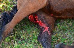 Horse hind wound