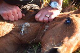 Horse neck wound