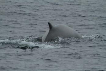 Fin whale (taken by Craig Turner)