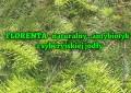 Florenta - naturalny ,,antybiotyk'' z syberyjskiej jodły