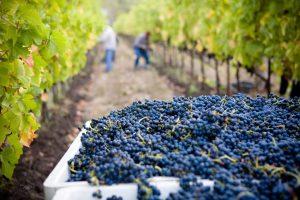 Detecting fungus in Vineyards