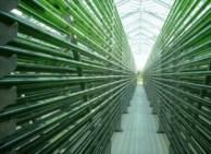 Cultivo de microalgas en biofotorreactores.
