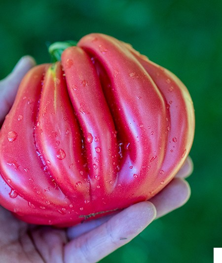 Zapotec Pleated Tomate