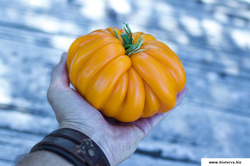 Florentine Beauty Tomate