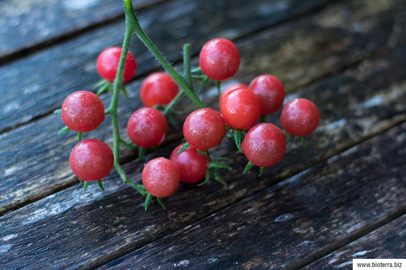 Rote Ribisel Wildtomate
