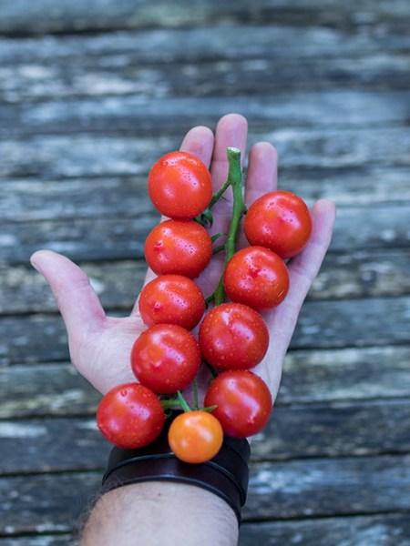Principe Borghese Tomaten