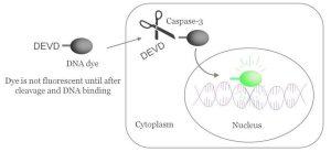 NucView® Caspase3 Substrates | Biotium