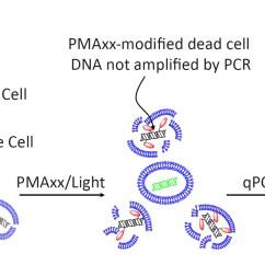 Cell Organelles Diagram 2008 Pt Cruiser Stereo Wiring Viability Pcr | Biotium
