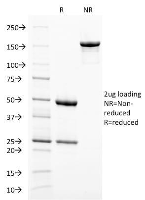 gp100 / Melanosome / PMEL17 / SILV Monoclonal Mouse