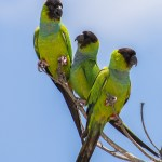 Photo of Nanday Parakeets by Robert Neff (Fifth World Art)