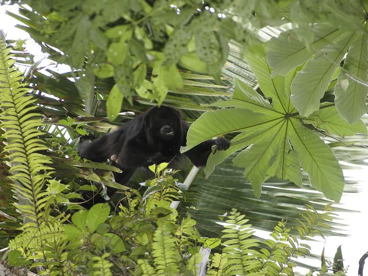 Adult male black howling monkey ingesting Cecropia leaves (photo credit: Travis Steffens)