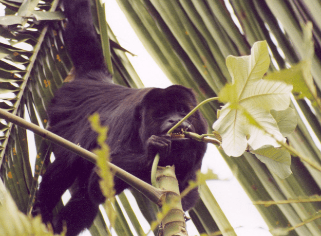 Adult male black howling monkey ingesting the Cecropica stems, which are the only food items that meet sodium requirements (Photo credit: Dr. Lisa Corewyn).