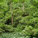 View of a typical Santomean cocoa Theobroma cacao plantation, shaded by coral trees Erythrina poeppigiana and intercropped with stapple food species: bananas Musa x paradisiaca and coco-yam Xanthosoma sagittifolium (Photograph by Ricardo F. Lima)