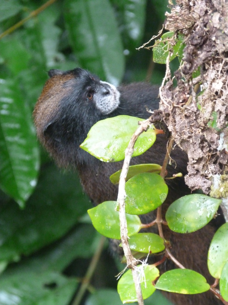 Heyman et al. 2014. Saguinus nigrifrons checks out an ant garden. Saddle-back tamarins spend much time searching for prey in closed microhabitats. (Photo: Lucia H. Bartecki)
