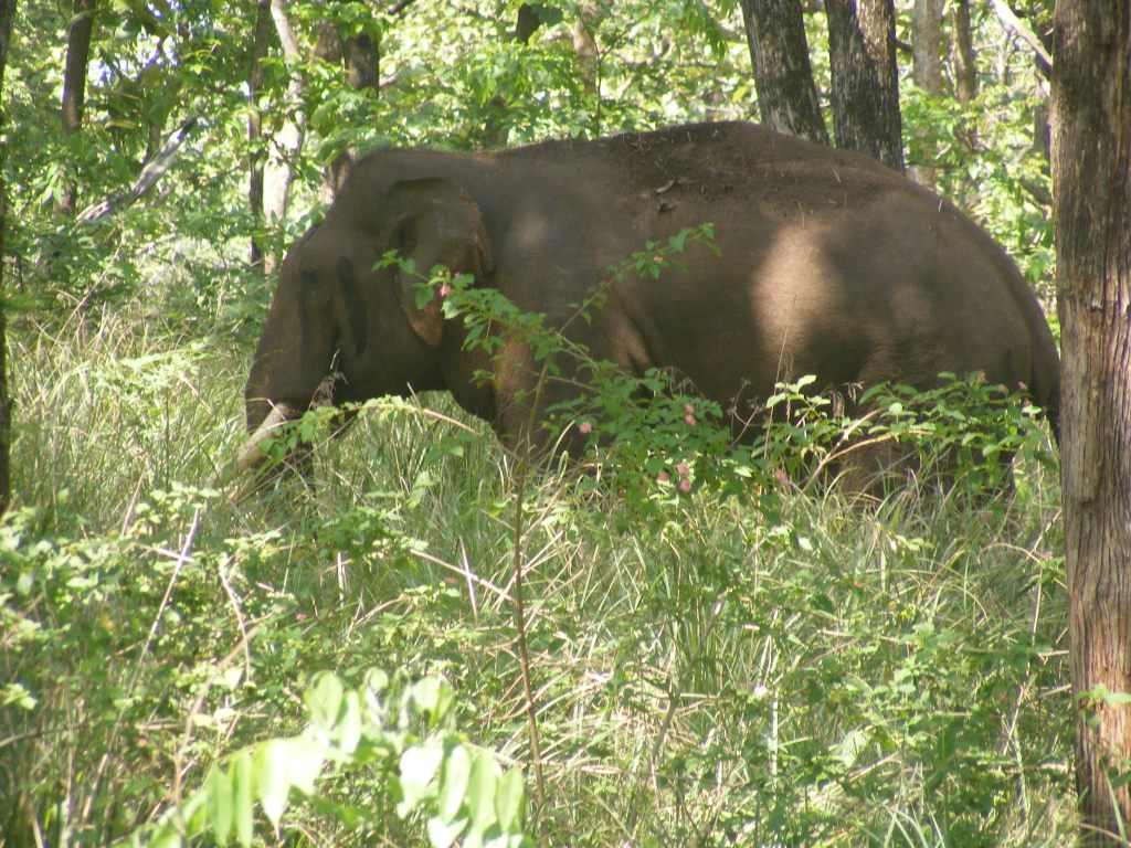 Wilson et al. 2014.  A bull elephant in musth feeding in the tall grass of Mudumalai Tiger Reserve with Lantana camara in the foreground. (Photo credit: Gaius Wilson)