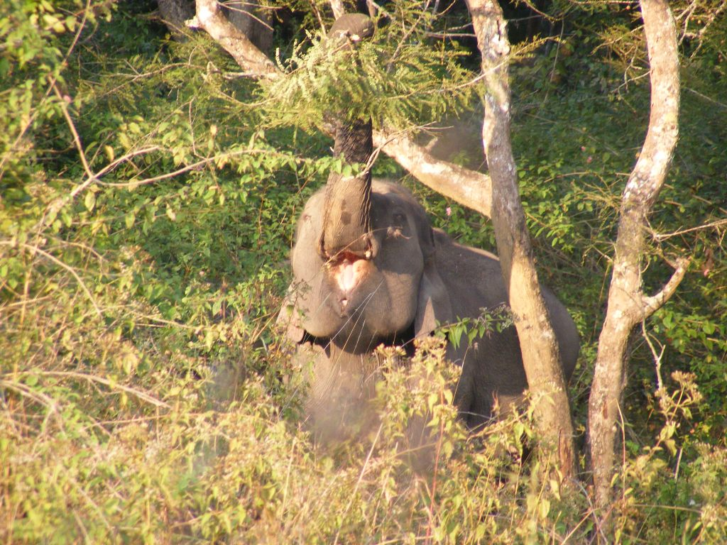 Wilson et al. 2014.  A female elephant browsing on Phyllanthus embellica. Invasive weeds such as Lantana camara have now covered significant parts of the reserve leading to a decline in native forage species. (Photo credit: Gaius Wilson)