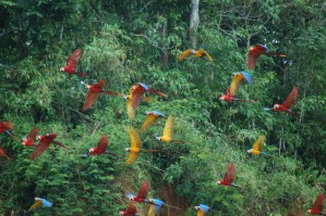 Blue-and-Yellow; Red-and-green; and Scarlet Macaws in flight around the claylick at Tambopata Research Centre (Photo: Alan Lee)