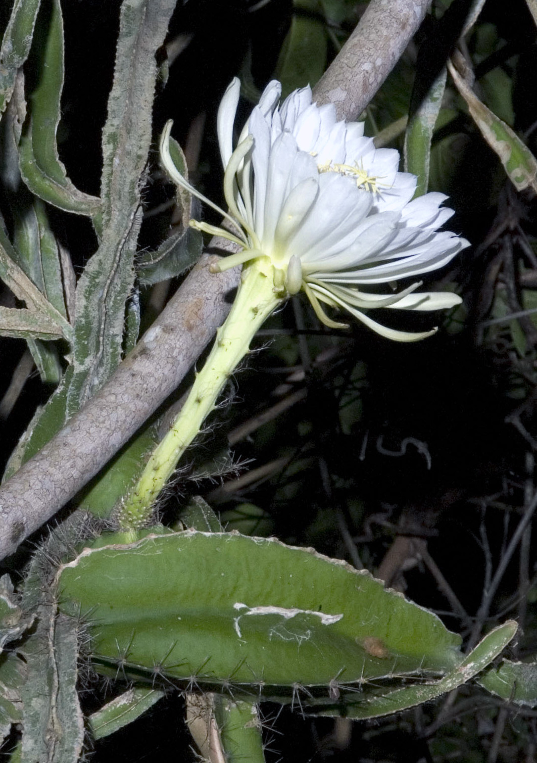 Night Blooming Cactus.  Botanical Garden, Havana