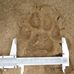 Puma concolor footprint.