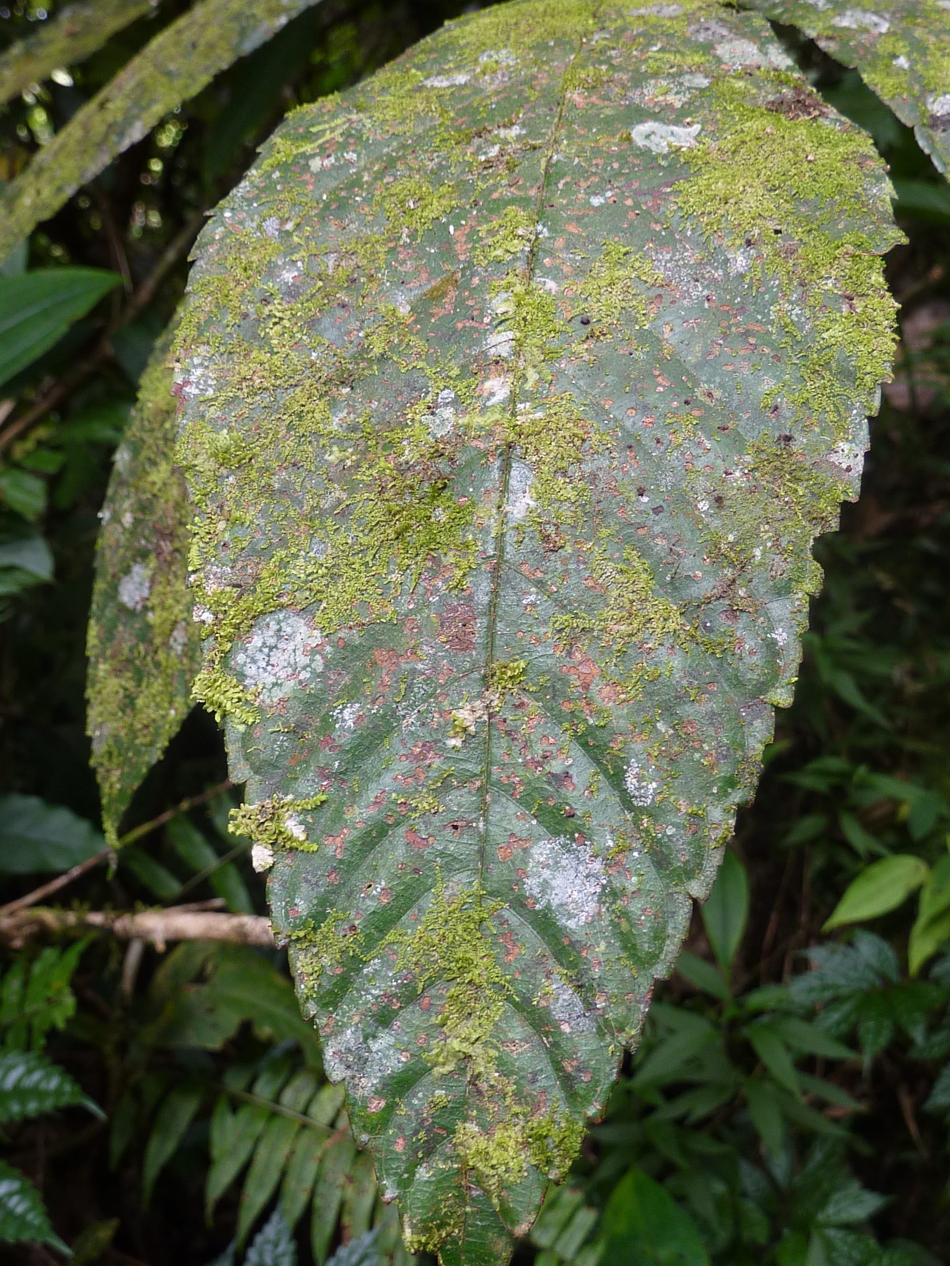 Photos 2: leaf surface can host a number of organisms from bacteria, fungi, bryophytes. A record number was 40+ species of bryophytes on one leaf.Photo by Ekaphan Kraichak.