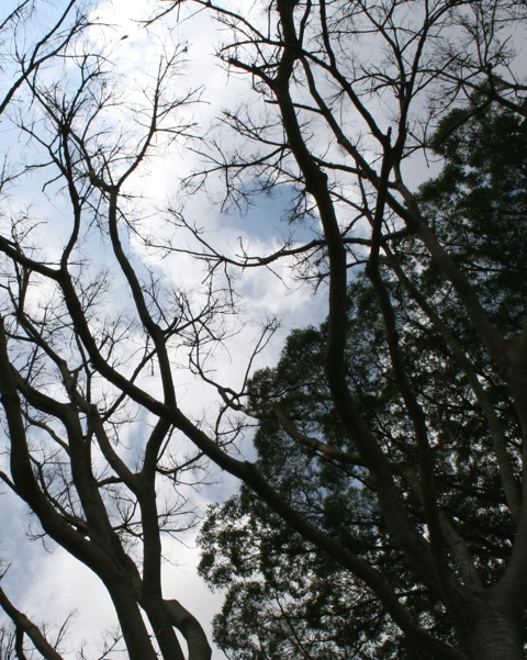 3. An evergreen (background) and a deciduous (foreground) canopies.