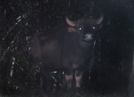 Indian Gaur encountered during frog survey (photo by K S Seshadri)