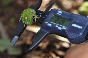 Raorchestes chalazodes on a slide caliper (photo by K S Seshadri)