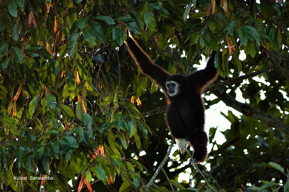 Lar gibbons (Hylobates lar) are one of the main dispersers of S. chinensis seeds. Photo by Kulpat Saralamba