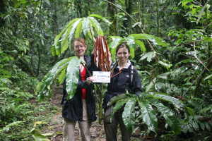 Tara and Jenn with an immature leaf of C. sciadophylla.  As the leaves emerge from the stipules they are usually bright crimson in color and contain high levels of chemical defenses, appreciably higher than in the mature leaves.  We found high concentrations of phenolics, condensed tannins (proanthocyanidins), and protein precipitable phenolics in immature leaves.  Interestingly, we failed to detect the presence of either alkaloids or cyanogens.  (Photo J. Bevington)