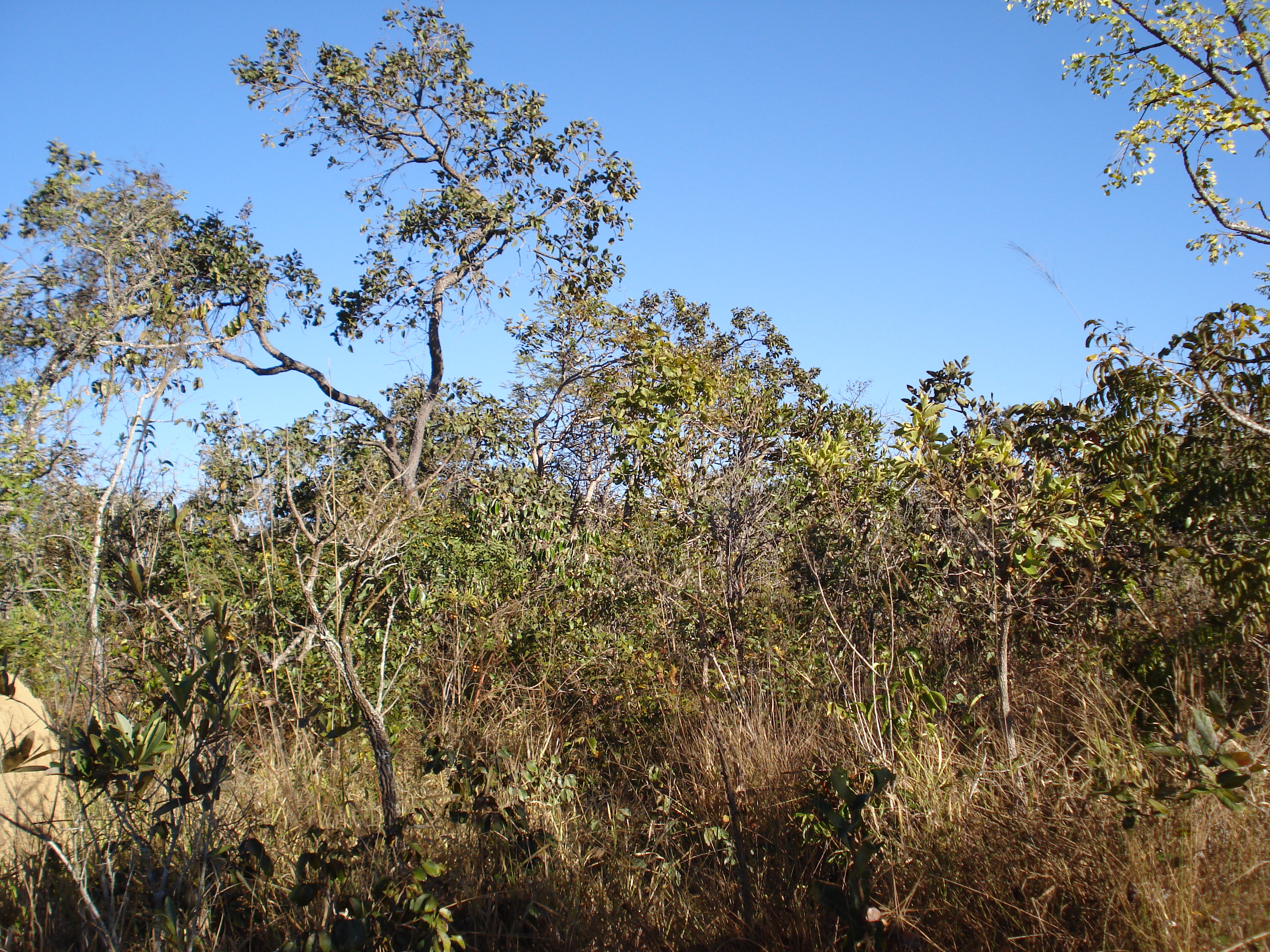Photo 4: A view of the typical savanna type vegetation in the Cerrado, where both plants and hummingbirds seem to be the least specialized (credit P.K. Maruyama)
