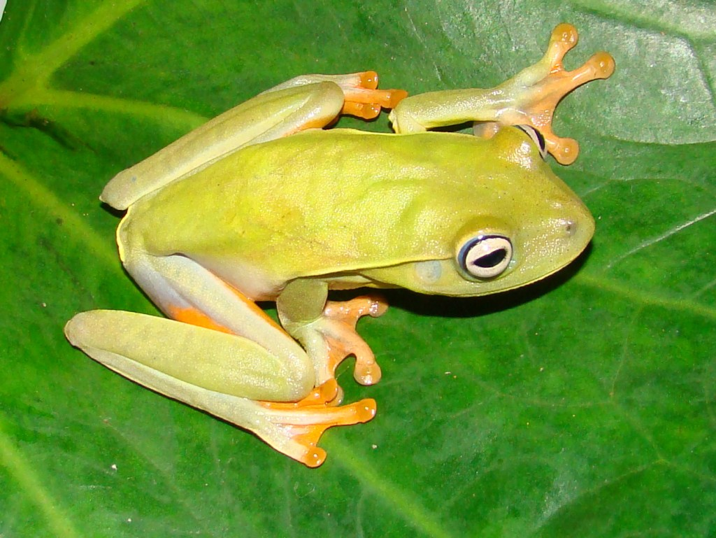 Hypsiboas albomarginatus (Photo by M. Almeida-Gomes)