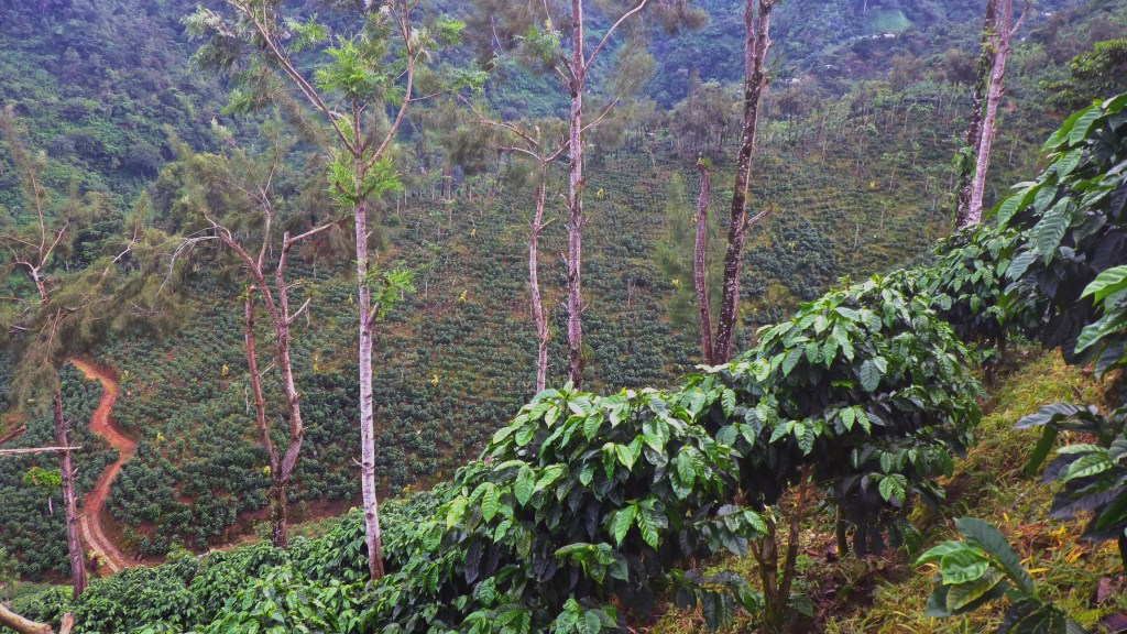 A view of an intensive coffee farm in the Soconusco region of Chiapas, Mexico (Finca San Francisco) where rows of coffee plants are visible underneath the sparse pine tree canopy. At the other side of the valley is a less intensive coffee farm with a a more diverse and dense tree canopy (Finca San Cristobal) where coffee plants are not visible. (Photo by Penelope Gillette)