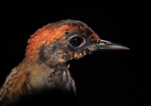 Closeup of a young Rufous-capped Antthrush, Formicarious colma. (Photo: Philip C. Stouffer)
